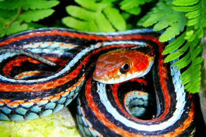 san-francisco-snake-beautiful-snake