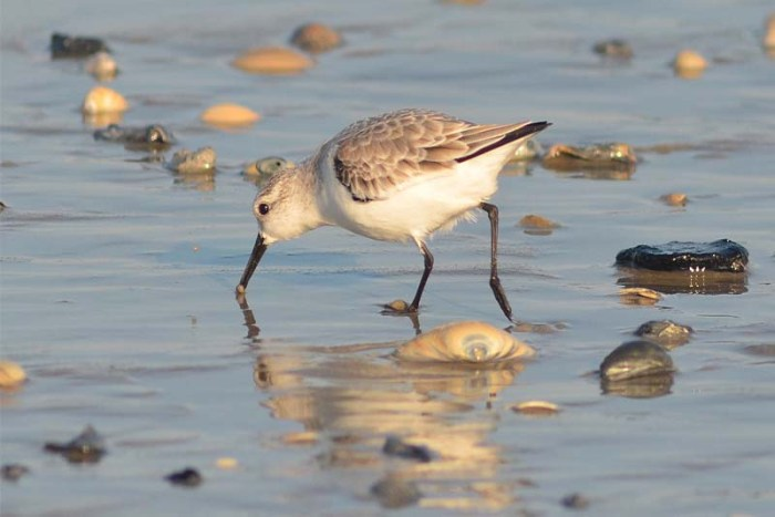 sanderling-white-bird