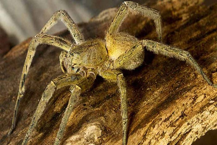 armed-spider-scariest-spiders