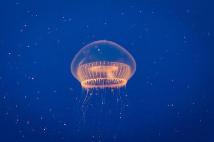 crystal-jelly-bio-luminescent-animal