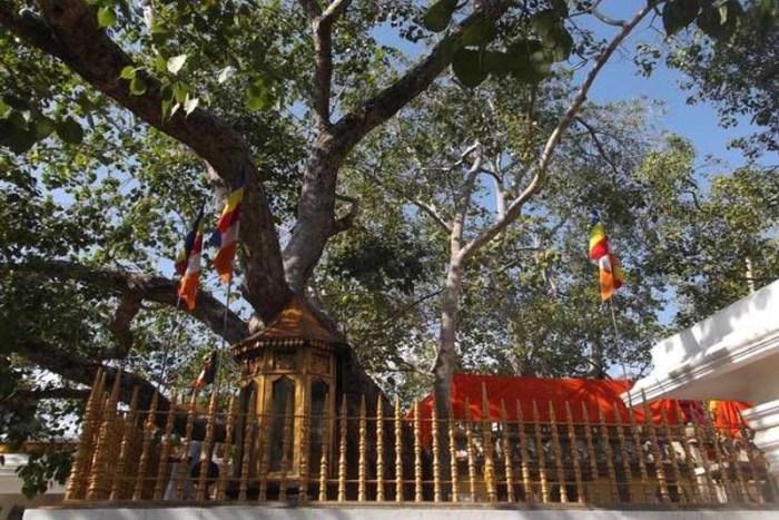 jaya-bodhi-oldest-tree