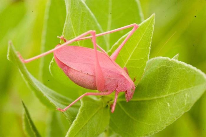 katydid-pink-animals