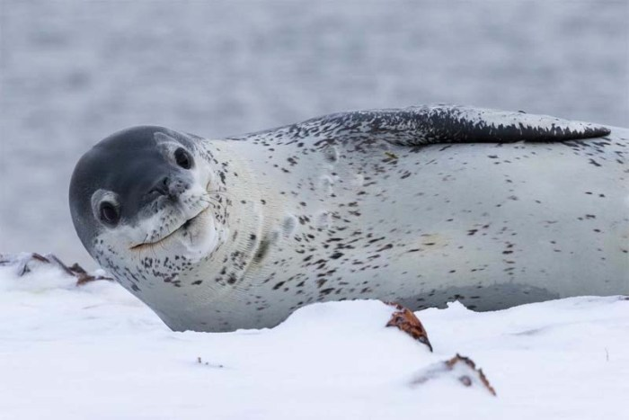 leopard-seal-cold-weather-animals