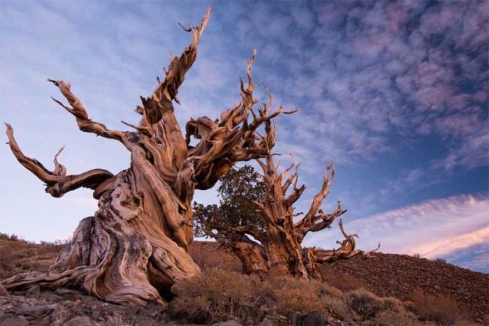 methuselah-oldest-tree