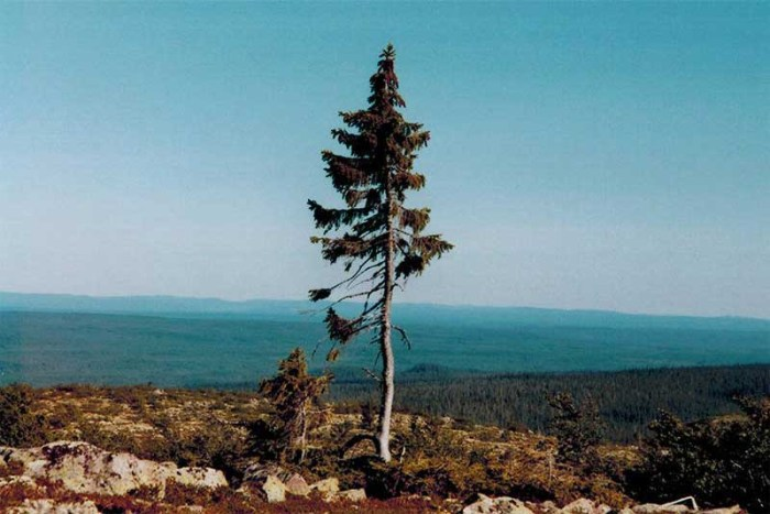 old-tjikko-oldest-tree