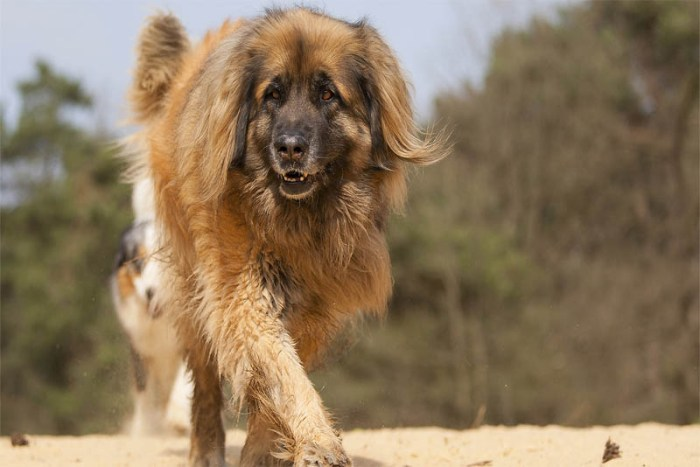 leonberger-german-breed-dogs