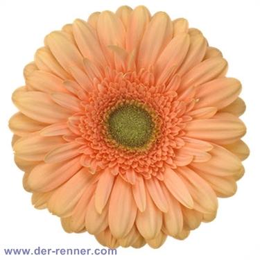 Gerbera apricot  Extase von Holstein Flowers  Blumen fr Hotel  Dekoration  Hochzeiten