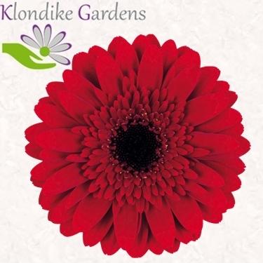 Minigerbera Masserati in Rot von Klondike Gardens  Blumen fr Hotel  Dekoration  Hochzeiten