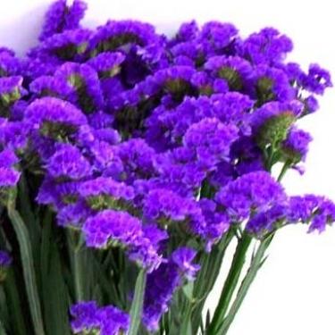 Statice Sinuatum blau vom Blumenversand Der Renner