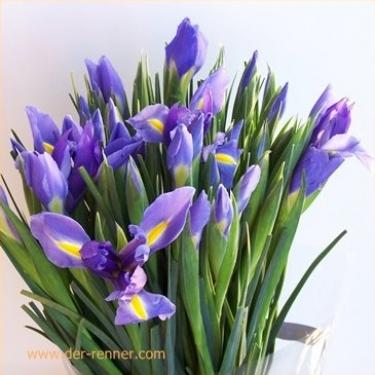 Iris Blue Magic  Farbe blau lila natuerlich ganz frisch