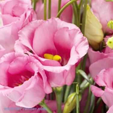 Lisianthus in Rosa vom Blumenversand Der Renner  Blumen