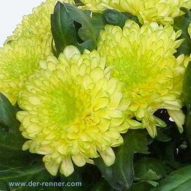 Chrysantheme Deko Zembla Brasil in gelbgrn  Blumen fr