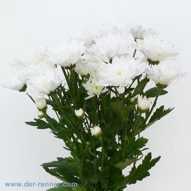 TrosChrysantheme Zembla in weiss aus Holland  Blumen fr