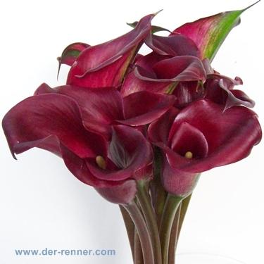 Callablten in dunkelrot  Sorte Red Charme  Blumen fr