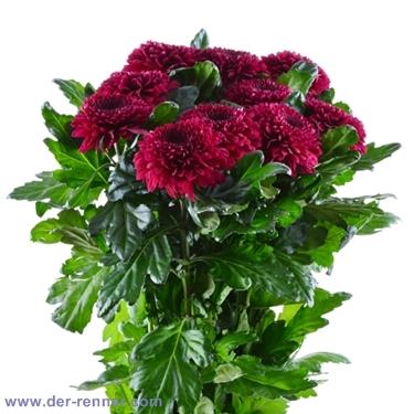Chrysantheme Barca bordeaux  Blumen fr Hotel