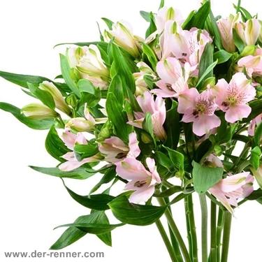 Alstromeria rosa  Pink Floyd  10 Stck  Blumen fr Hotel  Dekoration  Hochzeiten  direkt vom Grohndler  Blumenversand  Der Renner