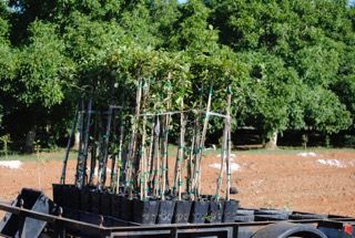 walnut tree saplings