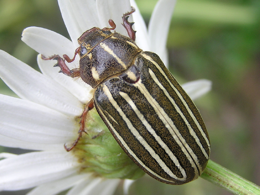 Ten-lined June beetle (Polyphylla)