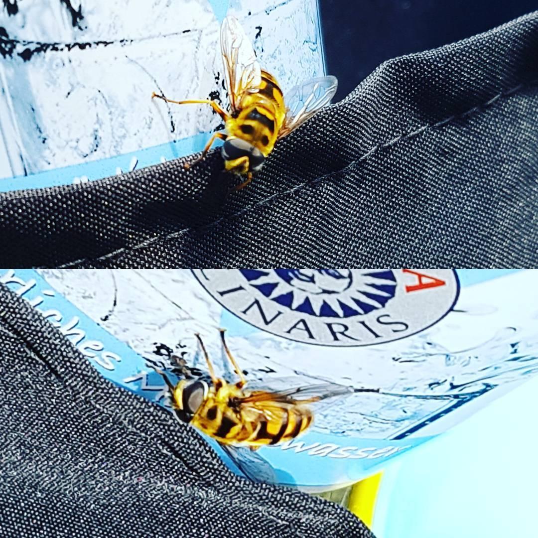 Halb Fliege, halb Biene. Eine Schwebefliege. Was es nicht alles gibt