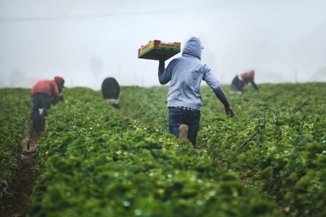 Med stor arbeidsledighet kan jordbærplukking bidra til å få norske lønnstakere i arbeid. Men det må tiltak til. EØS-avtalen er ikke hinder.