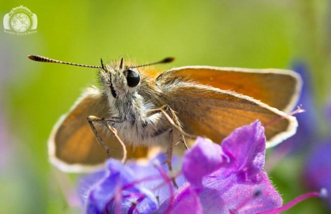 Der Inselfotograf - Rügen - Makro - Schmetterling