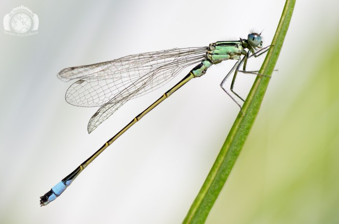 Der Inselfotograf - Rügen - Makro - Libelle