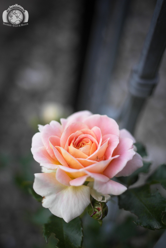 Der Inselfotograf - Rügen - rosa Rose