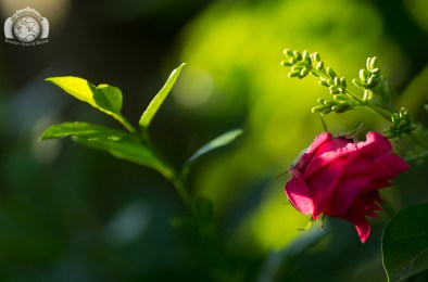 Der Inselfotograf - Rügen - Rose