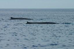 Finnwale (Foto: Rüdiger Hengl)