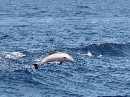 Streifendelfin (Foto: Rüdiger Hengl)