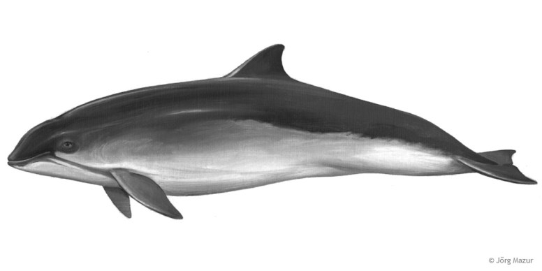 Schweinswal (Illustration von Jörg Mazur)