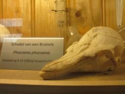 Schädel eines Schweinswals (Foto: Susanne Gugeler)