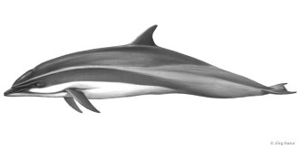 Borneo-Delfin (Illustration: Jörg Mazur)
