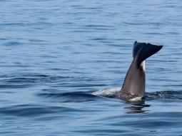 Orca (Foto: Rüdiger Hengl)