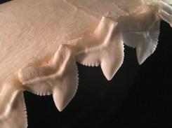 Gebiss eines Tigerhais (Foto: Stefan Kühn/Wikipedia)