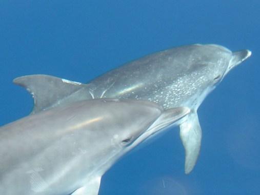 Atlantische Fleckendelfine (Foto: Verena Pecsy)