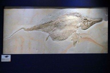 Versteinerter Ichthyrosaurier (Foto: Rüdiger Hengl)