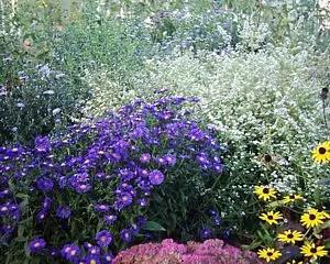 Herbstastern  Pflege  Herbstaster Myrtenaster Kissenastern und Schleierastern