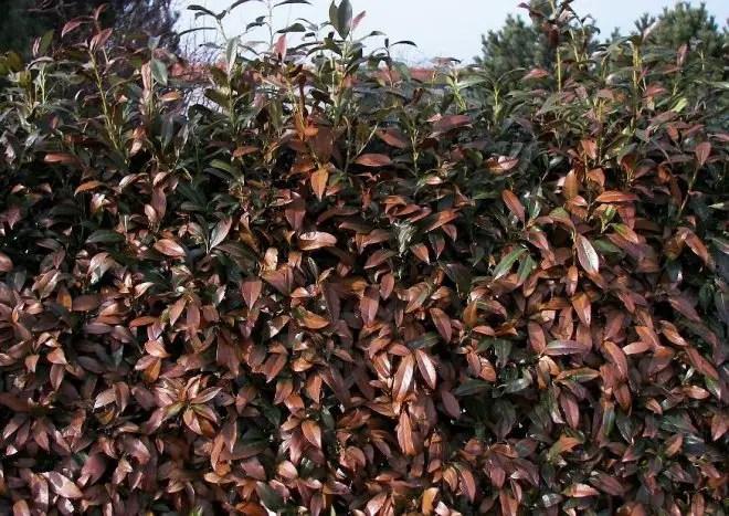 Heckenlorbeer Prunus laurocerasus Herbergii