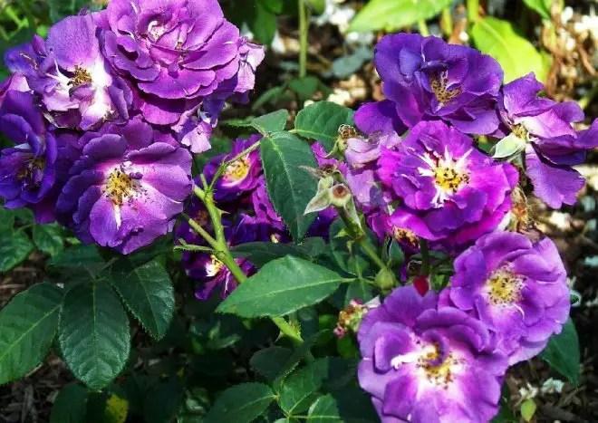 Rhapsody in Blue  blaue Strauchrose