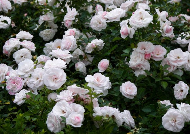 Aspirin Rose  niedrige Beetrose besondere Blten