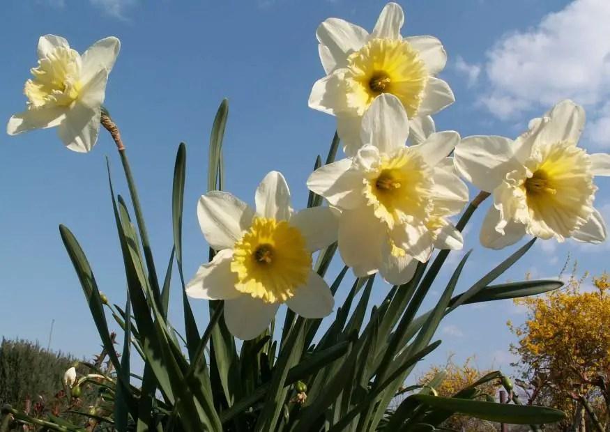 Narzissen Verwendung Pflege Pflanztiefe