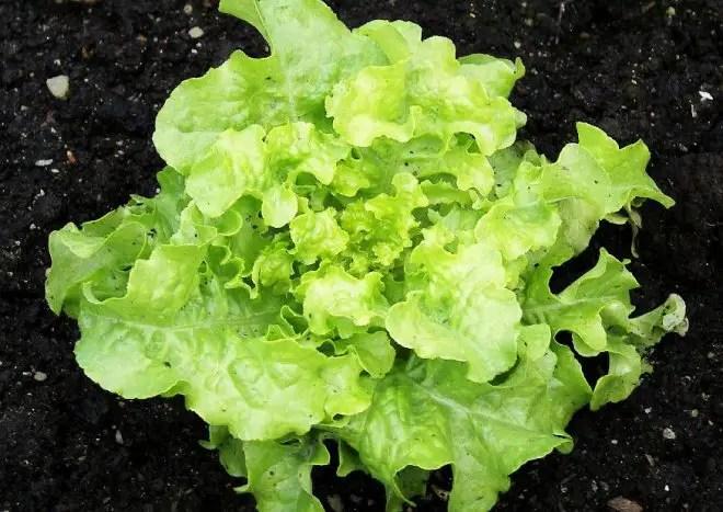 Pflcksalat pflanzen  Tipps zum Anbau und zu den Sorten