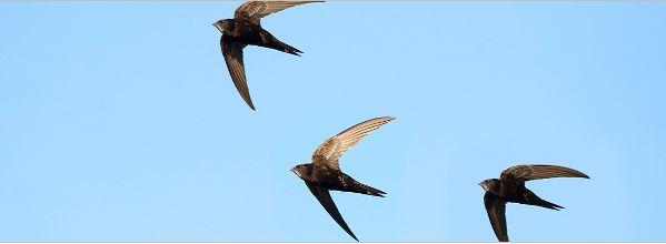 Gierzwaluwen