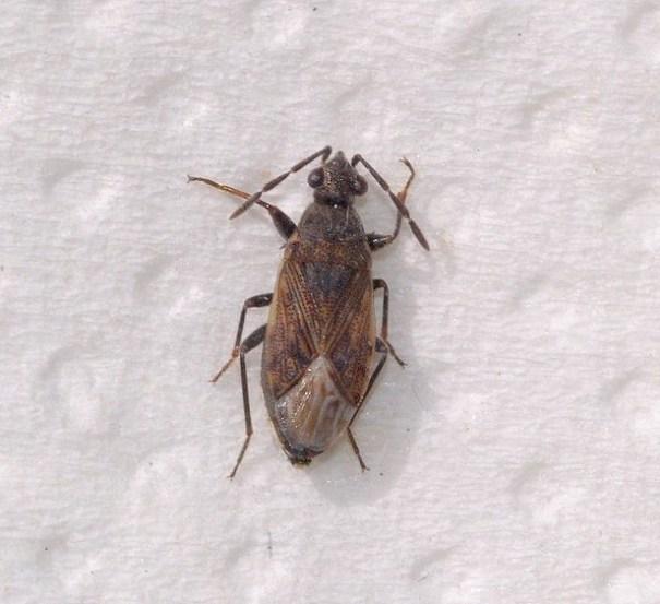 Sombere dartelwants (Peritrechus geniculatus)