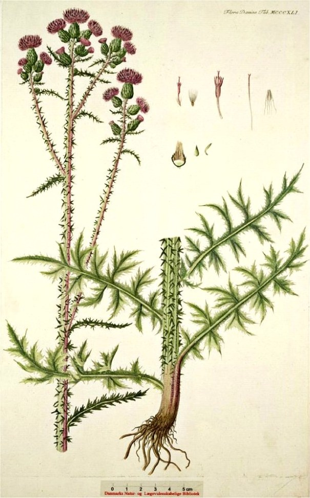Kale jonker (Cirsium palustre)