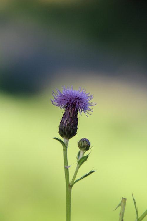 Akerdistel (Cirsium arvense)