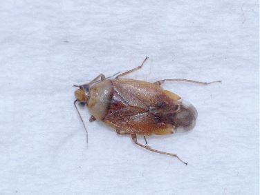 Valse bruine kortsprietwants, (Agnocoris rubicundus)