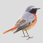 Gekraagde Roodstaart (Phoenicurus phoenicurus)