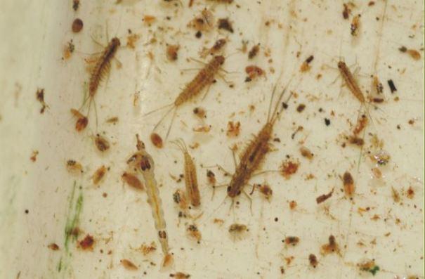waterinsecten larven